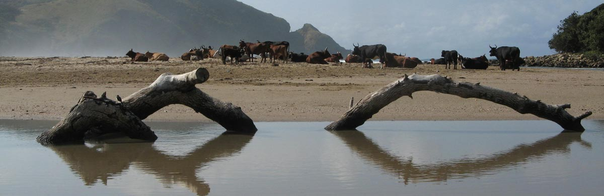 The Wild Coast is famous for its cows on the beach. Here is a herd of them on Second Beach, Port St Johns.